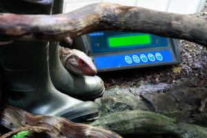 Ein Krokodilteju kann das Wiegen kaum erwarten. Foto: Ada von der Decken