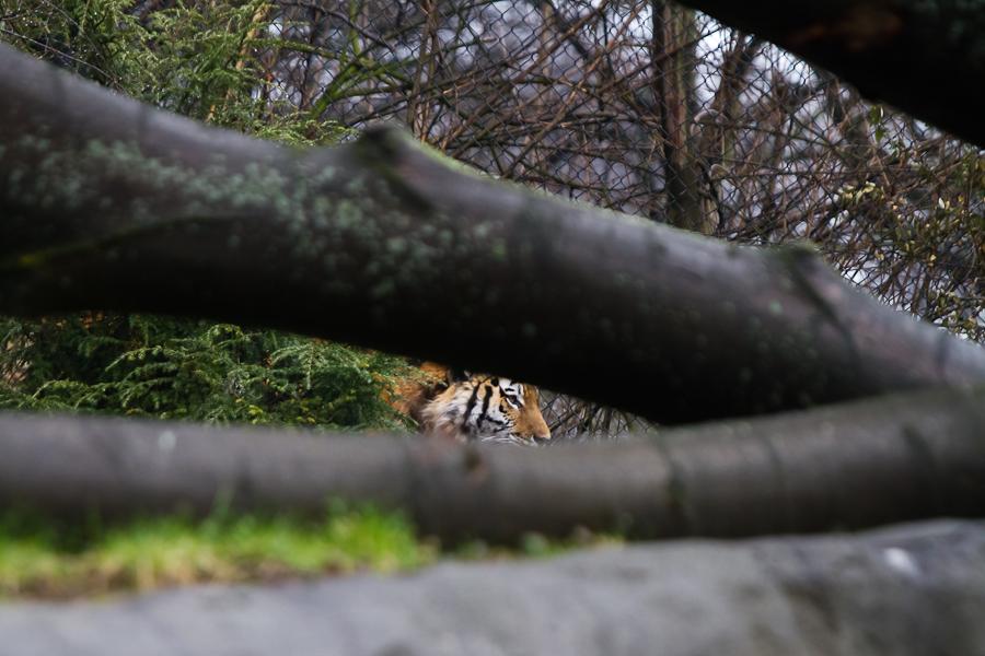 Geländevorteil: Auch im neuen Gehege haben die Großkatzen die Möglichkeit sich den neugierigen Blicken der Besucher zu entziehen.