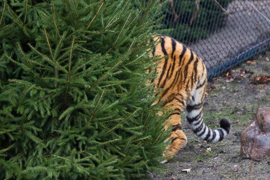 Tiger sind Meister der Tarnung