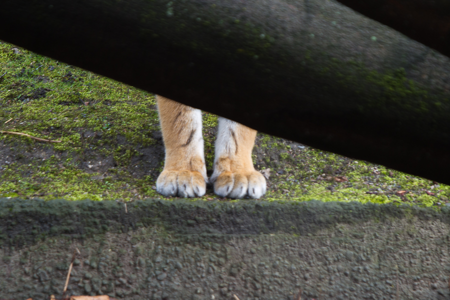 Tiger verschmelzen mit ihrer natürlichen Umgebung und werden für ihre Beute unsichtbar.