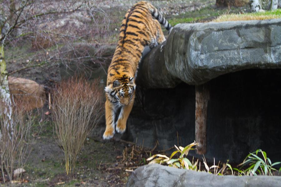 Fitness: Tiger verbringen die meiste Zeit des Tages mit der Nahrungssuche.