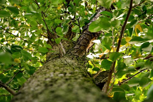 Der Wunderbaum. Foto: Anna H.-Stein