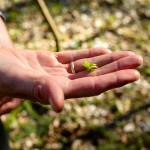 Junger Sauerklee schmeckt säuerlich-frisch. Foto: Nicolas Döring