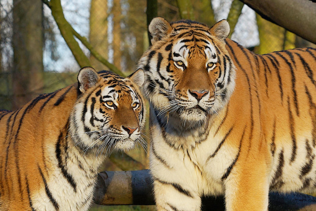 Tigermutter Maruschka und Tigervater Lailek. Foto: Detlev Stenzel