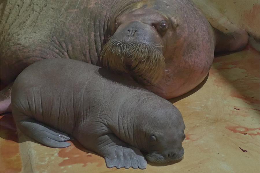 Walrossmutter Polosa und das noch namenlose Junge sind wohlauf. Foto: Helge Heggblum