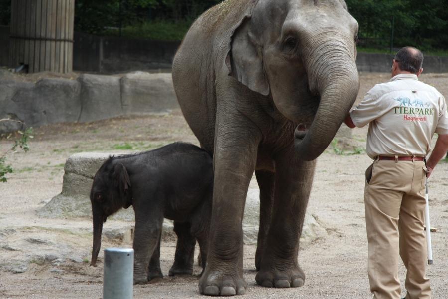 Meist bleibt das Elefantenbaby aber noch bei der Mutter. Foto: Lukas Gilbert