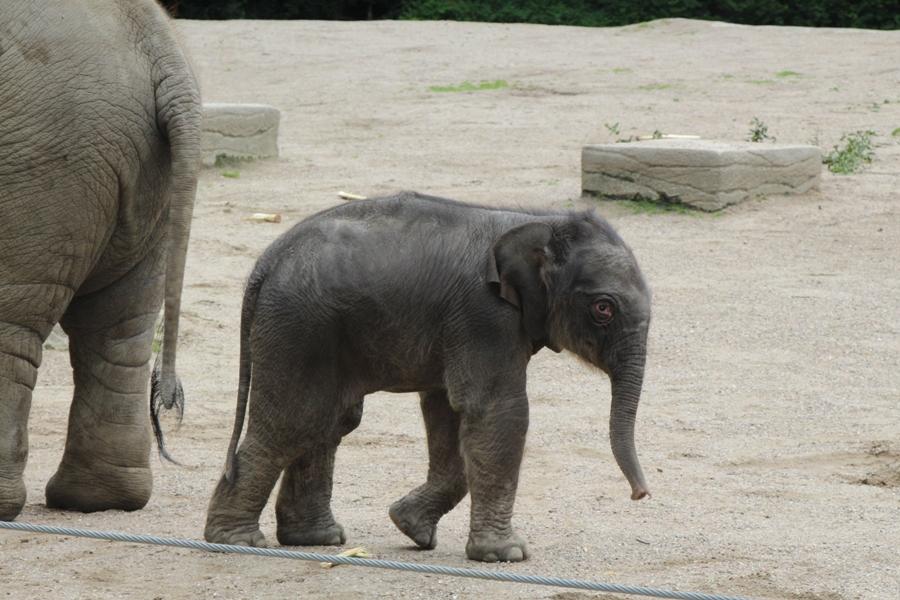 Die kleine Elefantendame erkundet das Gehege. Foto: Lukas Gilbert