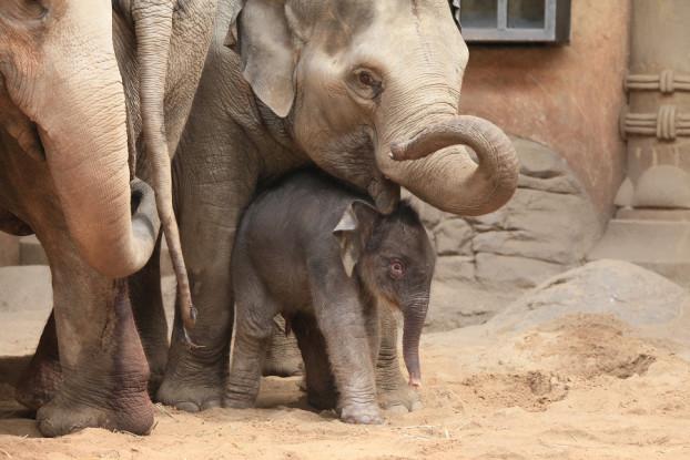 Am Montag gebar Elefantendame Yashoda eine Tochter. Ein Name für das Jungtier wird nun öffentlich gesucht. Foto: Lutz Schnier