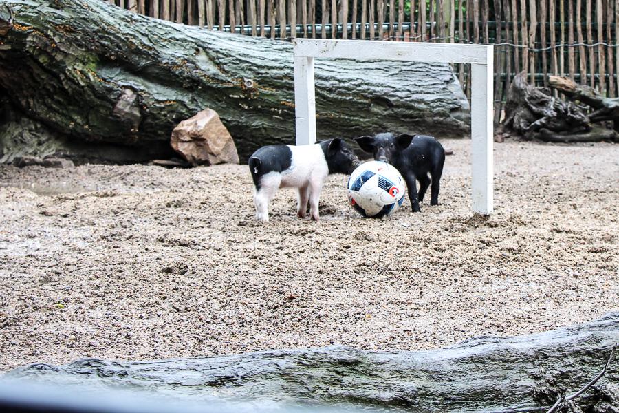 Schweinchen Fußball in Hagenbecks Tierpark. Foto: Jannika Grimm