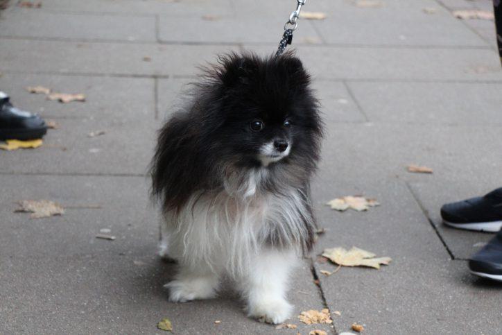 Wau! Auch Hunde tippeln durch das Viertel - Miu ist ganz besonders glücklich, wenn er viele Leckerlies und ausgiebige Kraueleinheiten bekommt. Foto: Karoline Gebhardt