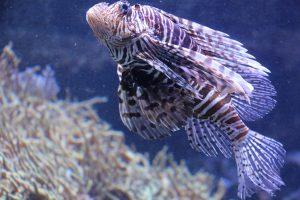 Viele exotische, auch gefährliche Arten - wie hier der indische Rotfeuerfisch - haben im Tropen Aquarium ein Zuhause. Foto: Karoline Gebhardt