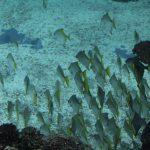 Ein Fischschwarm umkreist Korallenriffe, erforscht Höhlen. Foto: Karoline Gebhardt