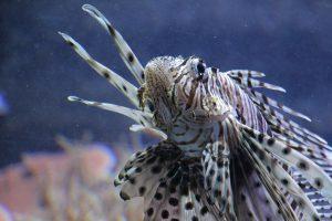 Der Rotfeuerfisch enthält in seiner Rückenflosse ein starkes Gift. Hinter den Glasscheiben des Aquariums ist er jedoch schön anzugucken. Foto: Karoline Gebhardt