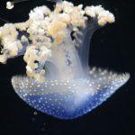 Auch Quallen sind im Tropen Aquarium vertreten. Foto: Karoline Gebhardt