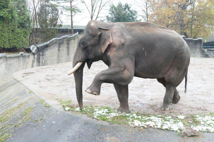 Für drei Jahre ein Hanseat. Gajendra hinterlässt drei Kinder in Hamburg. Foto: Tierpark Hagenbeck
