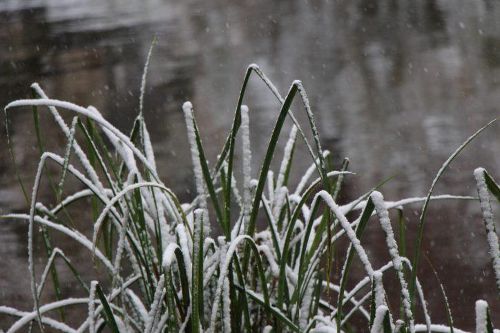 Der Schnee ziert die Spitzen der Pflanzenblätter. Foto: Karoline Gebhardt