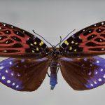 """Aus der Ordnung der Schmetterlinge stammt das Tier mit dem Namen """"Erasmia sanguiflua"""". Foto: UHH/CeNak"""