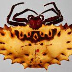 Sieht durch die Linse so aus: Die Webspinne. Foto: UHH/CeNak