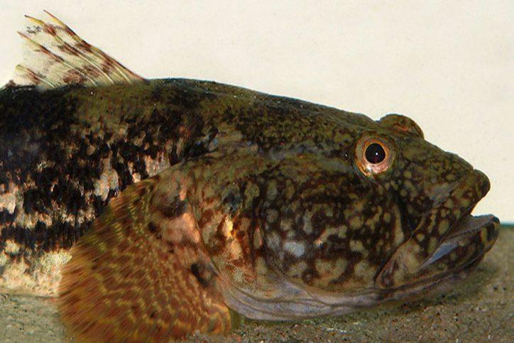 Forscher der Uni Hamburg entdecken Fischart in Elbe