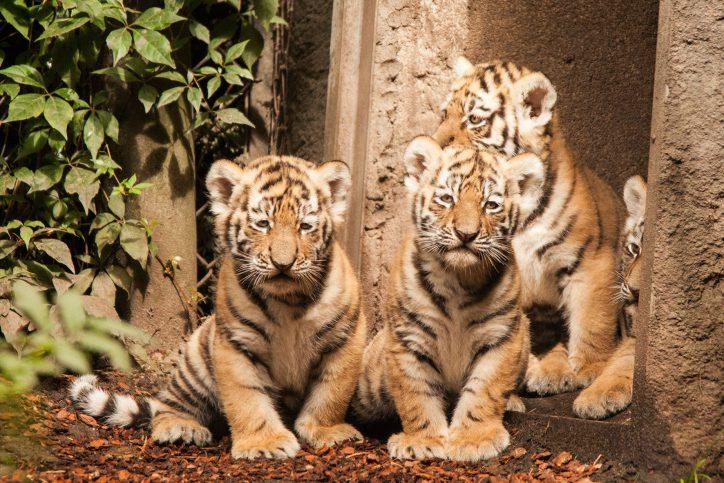 Bislang haben die vier Tigerbaby noch keine Namen. Foto: Lutz Schnier