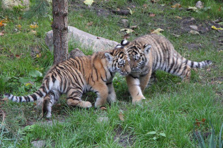 Tigerwelpen, Erkundungstour, Hagenbecks Tierpark. Foto: Phillip Holländer