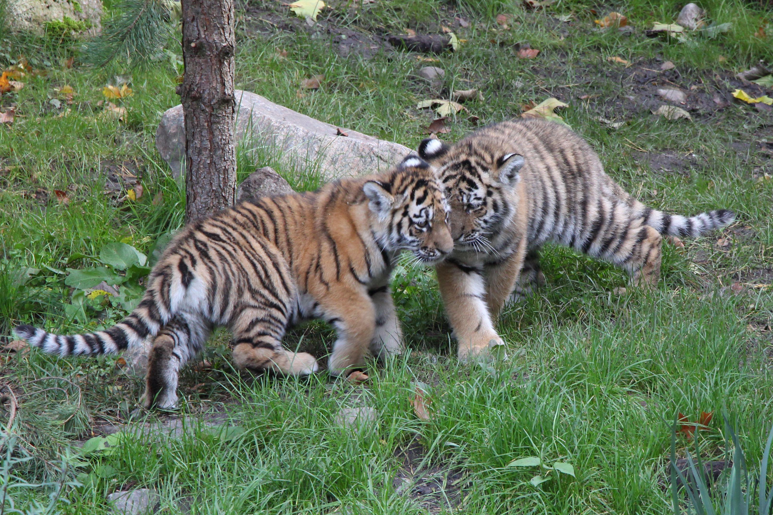 Die Tigerwelpen sind los