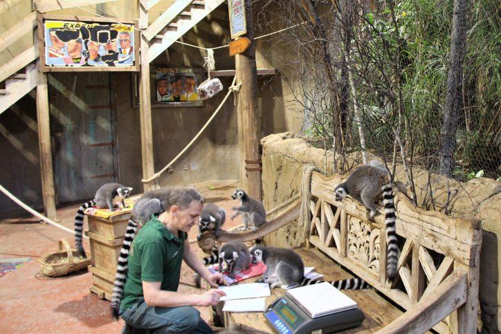 Auch die Katta Frühchen des Tropen-Aquarium wurden gewogen. Foto: Vanessa Leitschuh