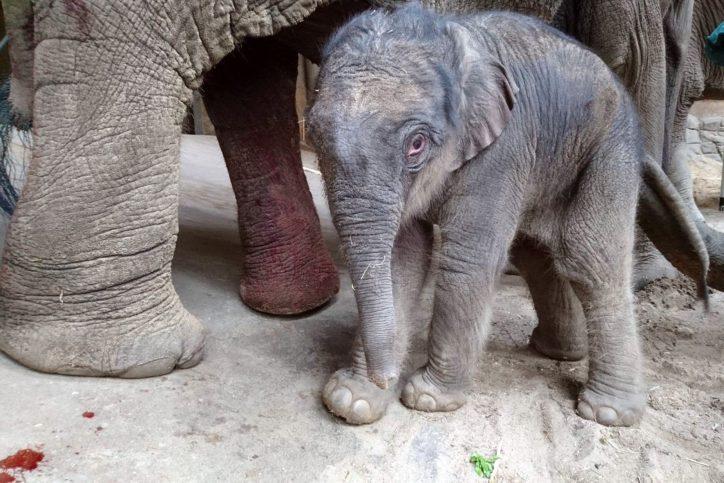 Ein Elefantenbaby ist im Tierpark Hagenbeck zur Welt gekommen. Foto: Hagenbeck