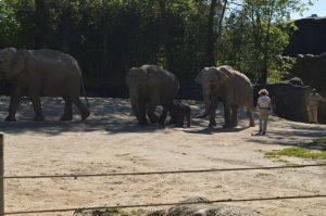 Die Elefantenfamilie aus dem Tierpark Hagenbeck läuft gemeinsam mit dem neuen Mitglied raus. Foto: Margarita Ilieva