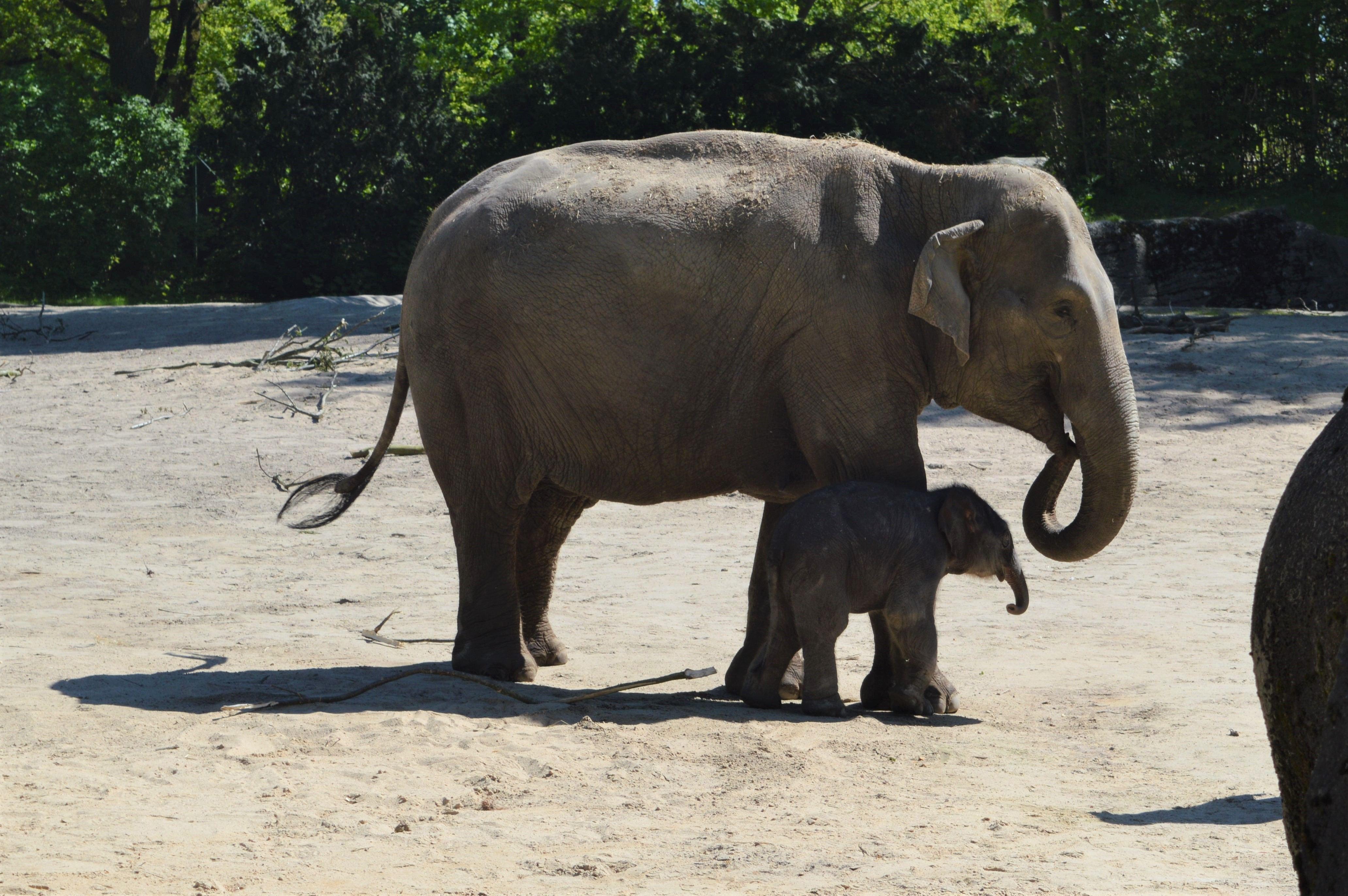 Das neugeborene Babyelefant Brausepaul durfte heute seinen ersten Spraziergang in die Außenanlage machen. Foto: Margarita Ilieva