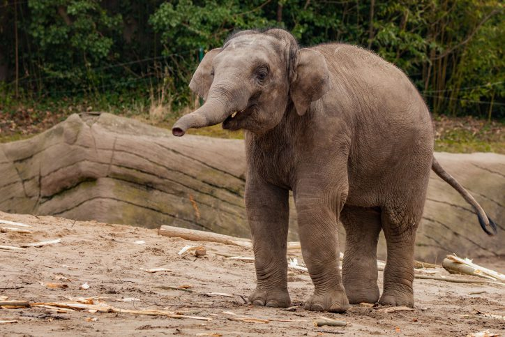 Jungbulle Kanja ist laut Obduktion an einem Elefanten-Herpes-Virus gestorben. Foto: Lutz Schnier