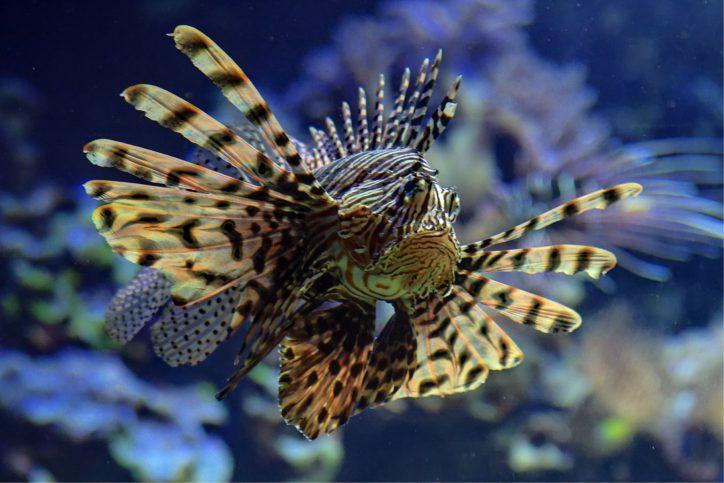 Eindrucksvoll schwimmt der Feuerfisch durch das Wasser. Foto: © Lutz Schnier