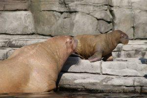Am Wochenende ist im Tierpark Hagenbeck das Walrossbaby verstorben. Foto: Alicia Wischhusen