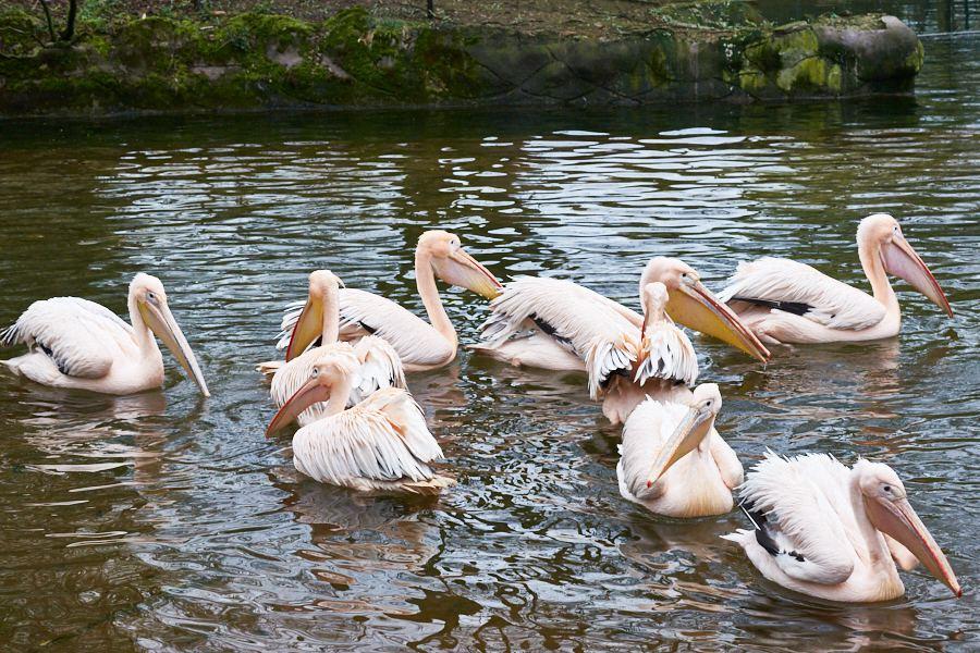 Pelikan macht Sonntagsausflug