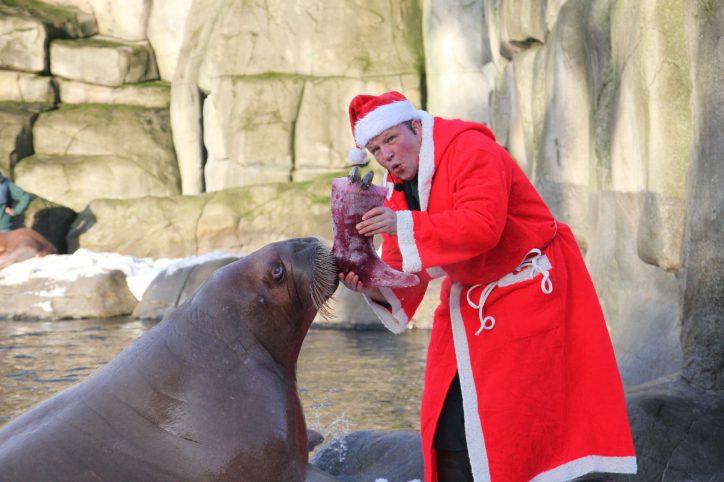 Nikolaus-Überraschung bei den Walrossen
