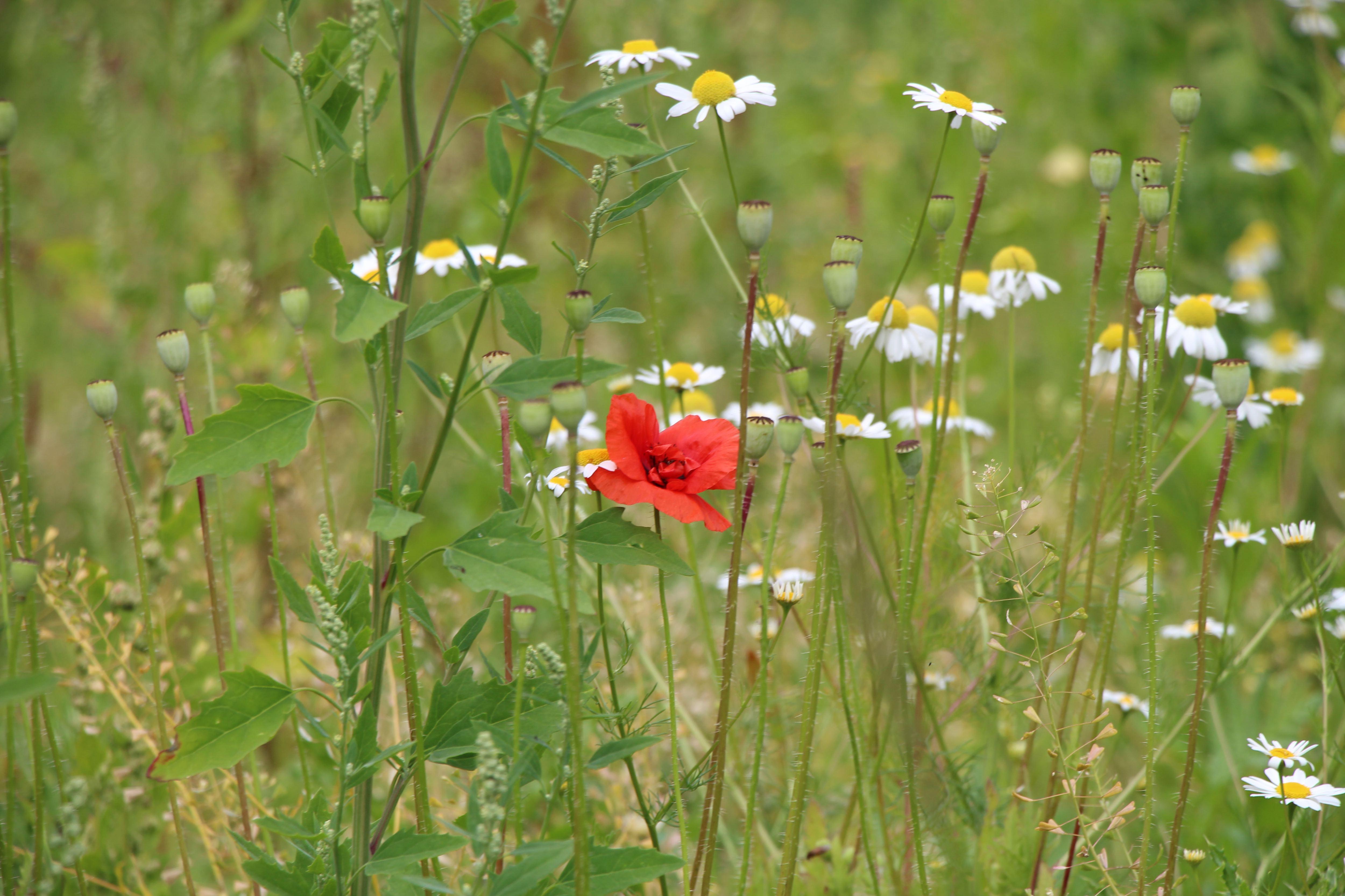 Auf Grünanlage wachsen diverse Wildblumen. Foto: Sahra Vittinghoff