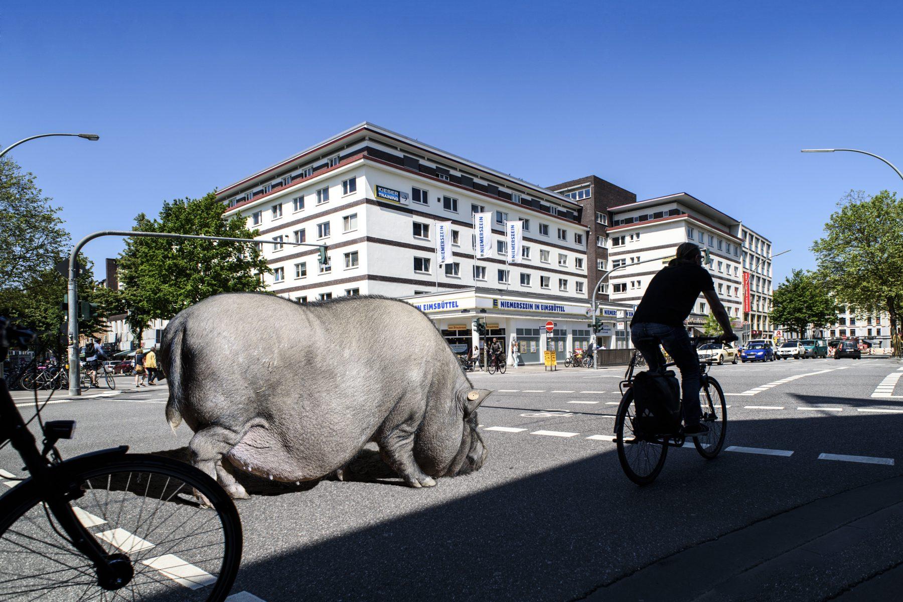 Hängebauchschwein auf der Osterstraße