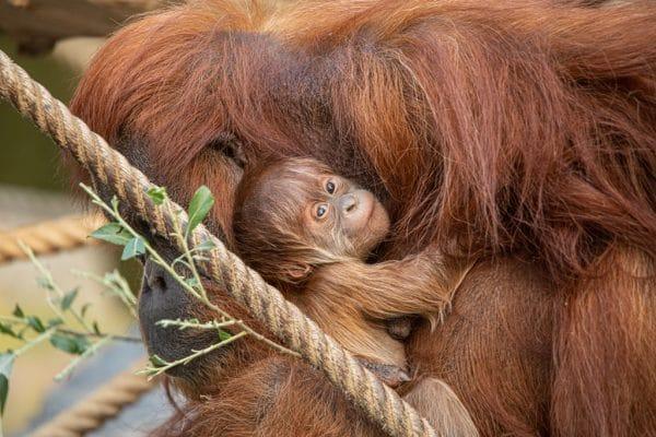 Der kleine Orang-Utan ist der neue Star im Affenhaus. Foto: Lutz Schnier
